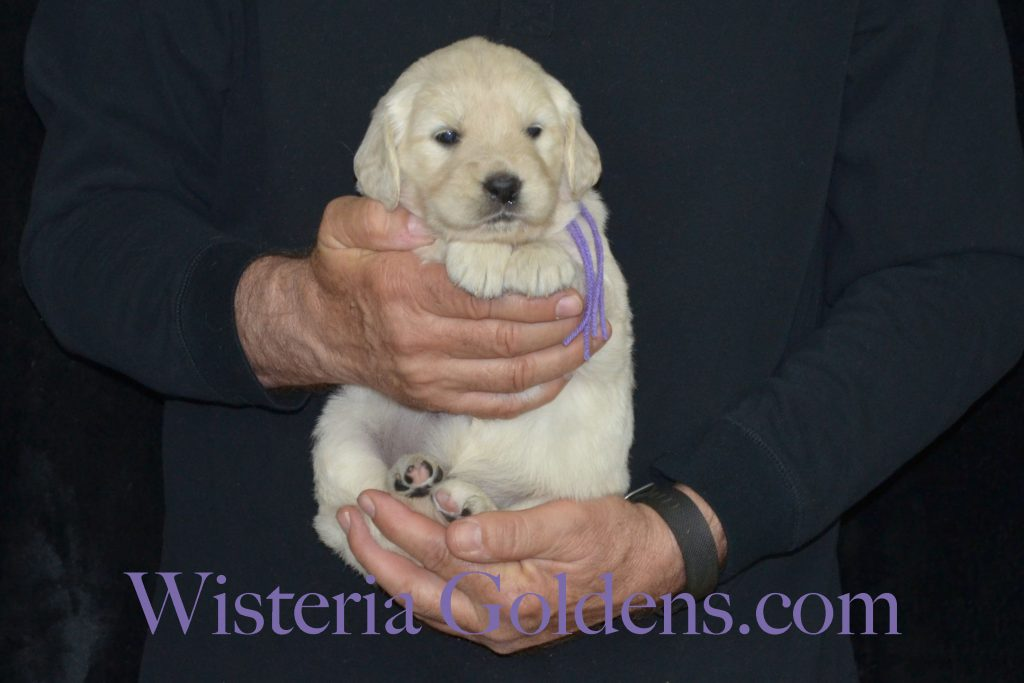 Piper Litter English Cream Golden Retriever puppies for sale Piper/Ego – Litter Born 02/17/2017 7 girls and 4 boys. Wisteria Goldens