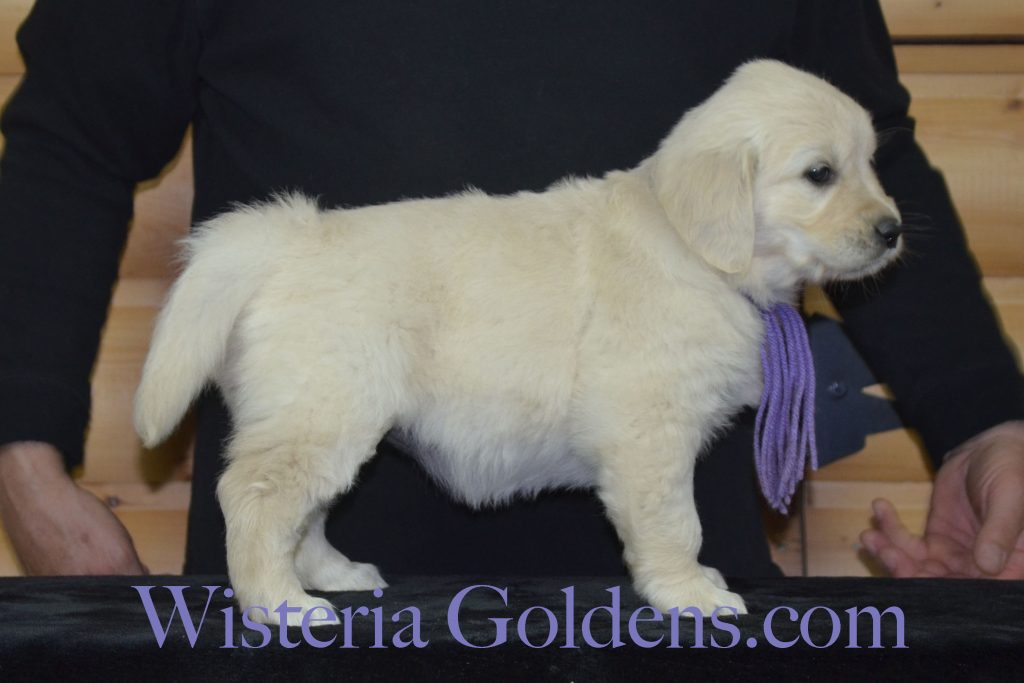 Piper Litter Six Week Pictures and Playtime Video. Piper/Ego – Litter Born 02/17/2017 7 girls and 4 boys.English Cream Golden Retriever puppies for sale. Wisteria Goldens. #PiperLitter #EgoLitter #englishcreamgoldenretriever #puppiesforsale #WisteriaGoldens #SixWeekPuppyPictures #SixWeekPlaytimeVideo