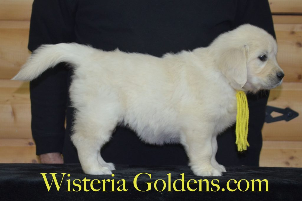 Piper Litter Six Week Pictures and Playtime Video. Piper/Ego – Litter Born 02/17/2017 7 girls and 4 boys. Currently Lt. Purple Girl and Yellow Girl are available and all males are sold. English Cream Golden Retriever puppies for sale. Wisteria Goldens. #PiperLitter #EgoLitter #englishcreamgoldenretriever #puppiesforsale #WisteriaGoldens #SixWeekPuppyPictures #SixWeekPlaytimeVideo