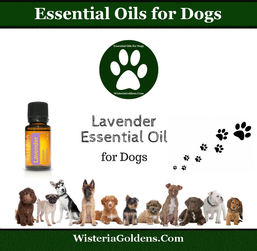 Lavender Oil Supports Dogs Naturally