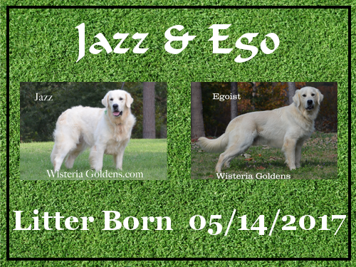 Jazz Litter Born Jazz/Ego – Litter Born 05/14/2017. 4 girls and 6 boys. English Cream Golden Retriever puppies for sale. Wisteria Goldens