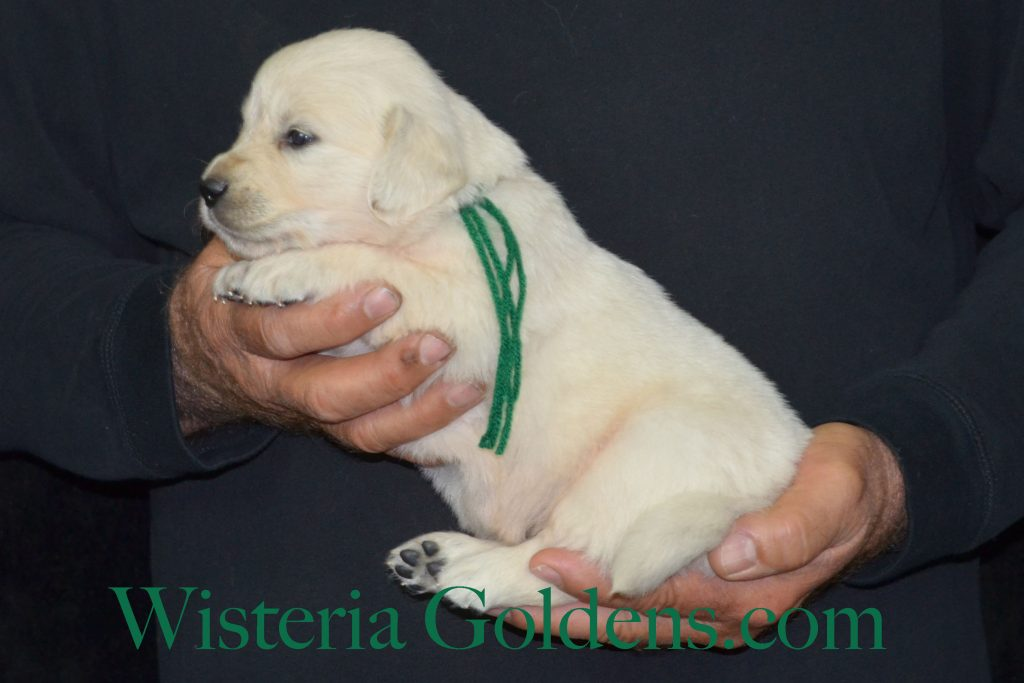 Jazz Litter Jazz/Ego Litter Born 5-14-2017 FOUR WEEK PICTURES Find out more on our website http://wisteriagoldens.com/available-puppies/ #EnglishCreamGoldenRetriever #puppiesforsale #Wisteriagoldens #JazzLitter #EgoLitter All Wisteria English Cream Golden Retriever puppies receive lots of love, attention, socialization, and are started on basic training. We provide a consistent routine for giving our English Cream Goldens a great foundational start in order to become the best possible member of your family. Wisteria Goldens is a Member of Dog Breeders Bred With HEART AKC Bred with H.E.A.R.T. Program Wisteria Goldens have consistently been committed to being in good standing with the AKC and other authorities in all areas of our business. But, our primary dedication is to raise happy and healthy English Cream Golden Retrievers. Read More http://wisteriagoldens.com/2017/03/bred-with-heart/