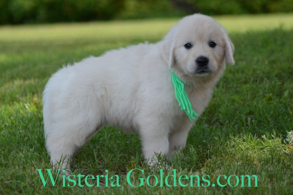 Jazz Litter Jazz/Ego Litter Born 5-14-2017 Six Week Pictures and Playtime Video. Wisteria Goldens English Cream Golden Retriever puppies for sale. #BREDwithHEART #JazzLitter #EgoLitter #PuppyPictures