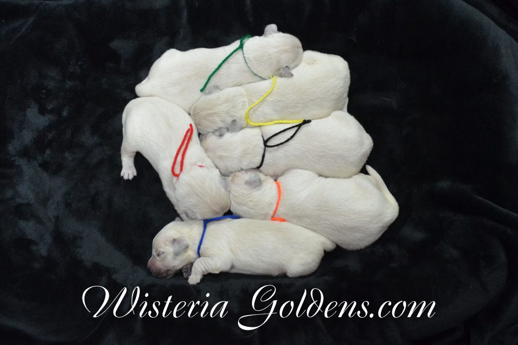 Jazz Litter Born 05-14-2017 Sailor/Ego – Litter Born 05/08/2017. 5 girls and 4 boys. Current Availability is available on our website or contact us. Ready for their forever homes on July 3. English Cream Golden Retriever puppies for sale Wisteria Goldens #WisteriaGoldens #EnglishCreamGoldenRetriever #PuppiesForSale #JazzLitter