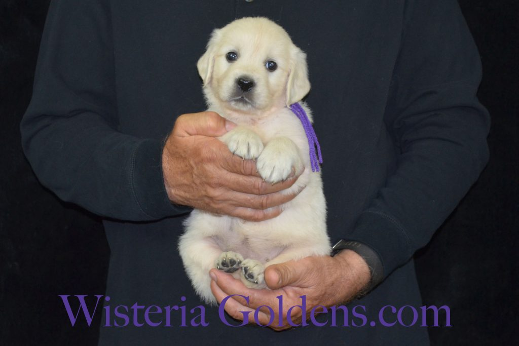 Jazz Litter Jazz/Ego – Litter Born 05/14/2017. 4 girls and 6 boys. Ready for their forever homes on July 9th. #englishcreamgoldenretriever #puppiesforsale #wisteriagoldens #BREDwithHEART #JazzLitter #EgoLitter #puppypictures