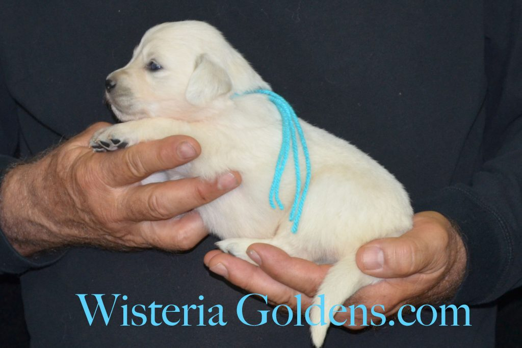 Jazz Litter Jazz/Ego – Litter Born 05/14/2017. 4 girls and 6 boys. Wisteria Goldens English Cream Golden Retriever puppies for sale. #jazzlitter #egolitter