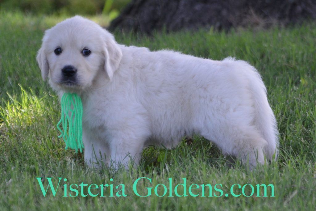 Sailor Litter Sailor/Ego – Litter Born 05/08/2017. Six Week Pictures and Playtime Video. 5 girls and 4 boys. Ready for their forever homes on July 3. #wisteriagoldens #englishcreamgoldenretirever #puppiesforsale #BREDwithHEART