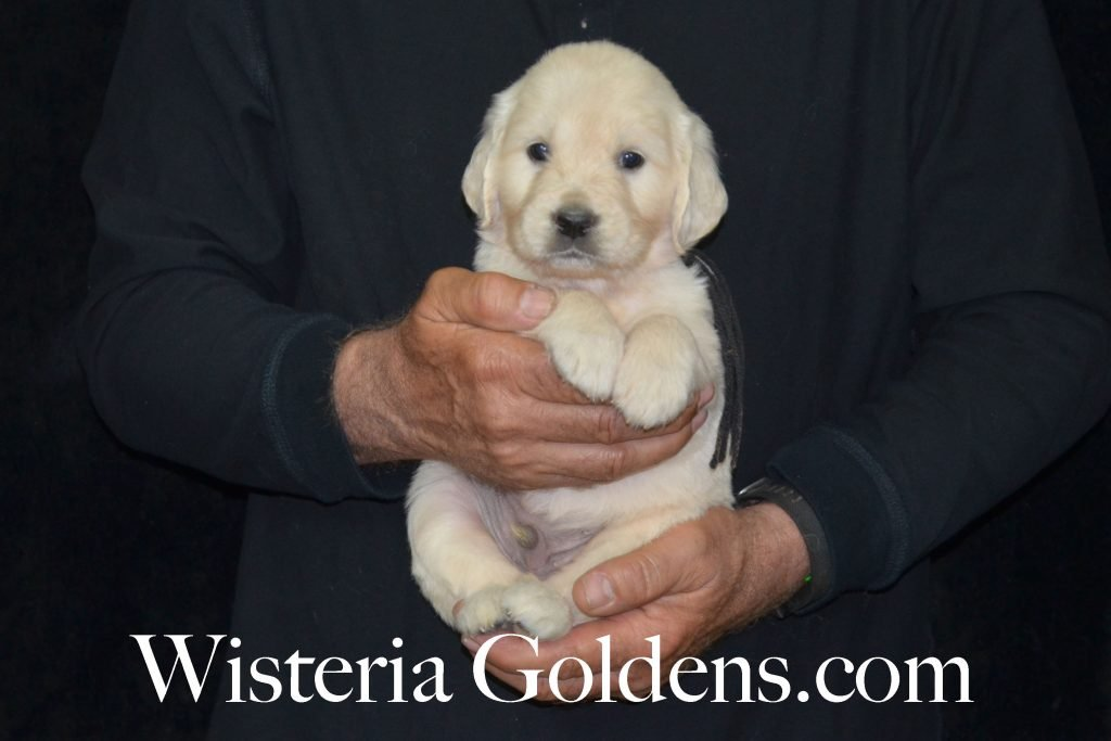 Sunny Litter Sunny/Tahoe – Litter Born 05/08/2017. 8 girls and 3 boys. English Cream Golden Retriever puppies for sale. Wisteria Goldens.