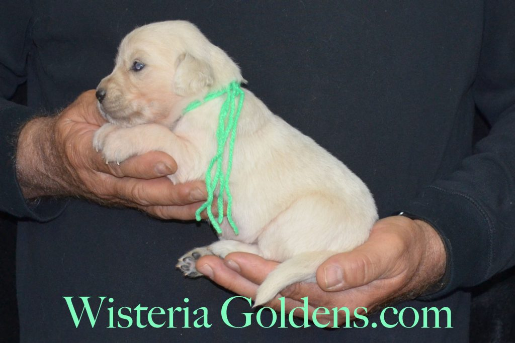 Sunny Litter Sunny/Tahoe – Litter Born 05/08/2017. 8 girls and 3 boys. #EnglishCreamGoldenRetriever #puppiesforsale #SunnyLitter #TahoeLitter #WisteriaGoldens