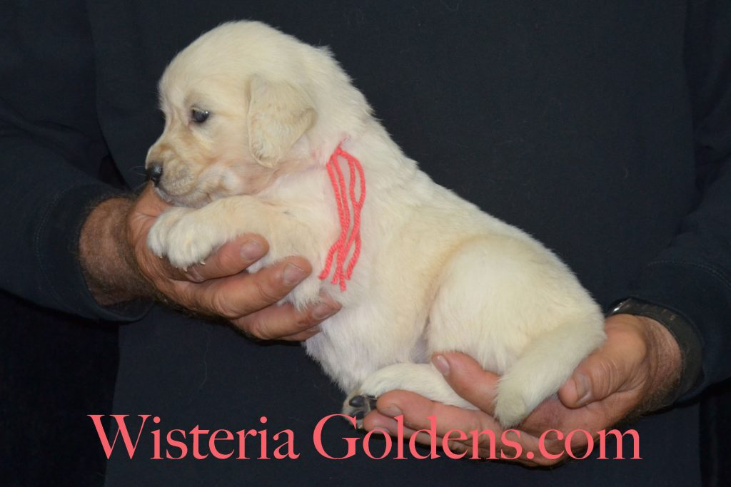 Sunny Litter Sunny/Tahoe – Litter Born 05/08/2017. 8 girls and 3 boys. #englishcreamgoldenretriever #puppiesforsale #wisteriagoldens #BREDwithHEART #SunnyLitter #TahoeLitter