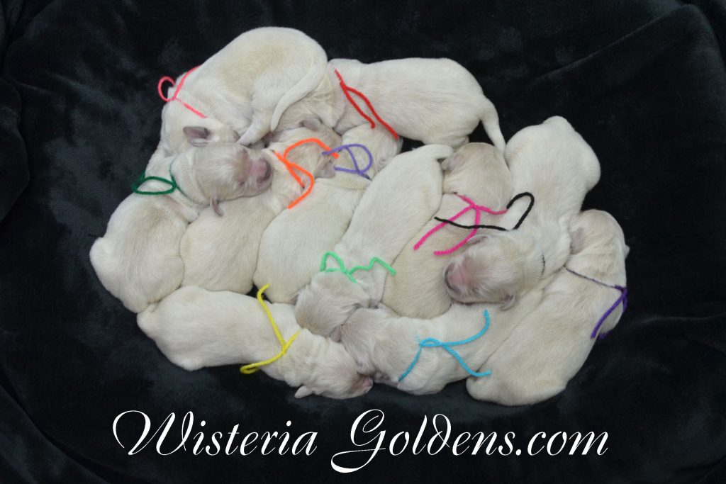 Sunny Litter Sunny/Tahoe – Litter Born 05/08/2017. 8 girls and 3 boys. English Cream Golden Retriever puppies for sale Wisteria Goldens