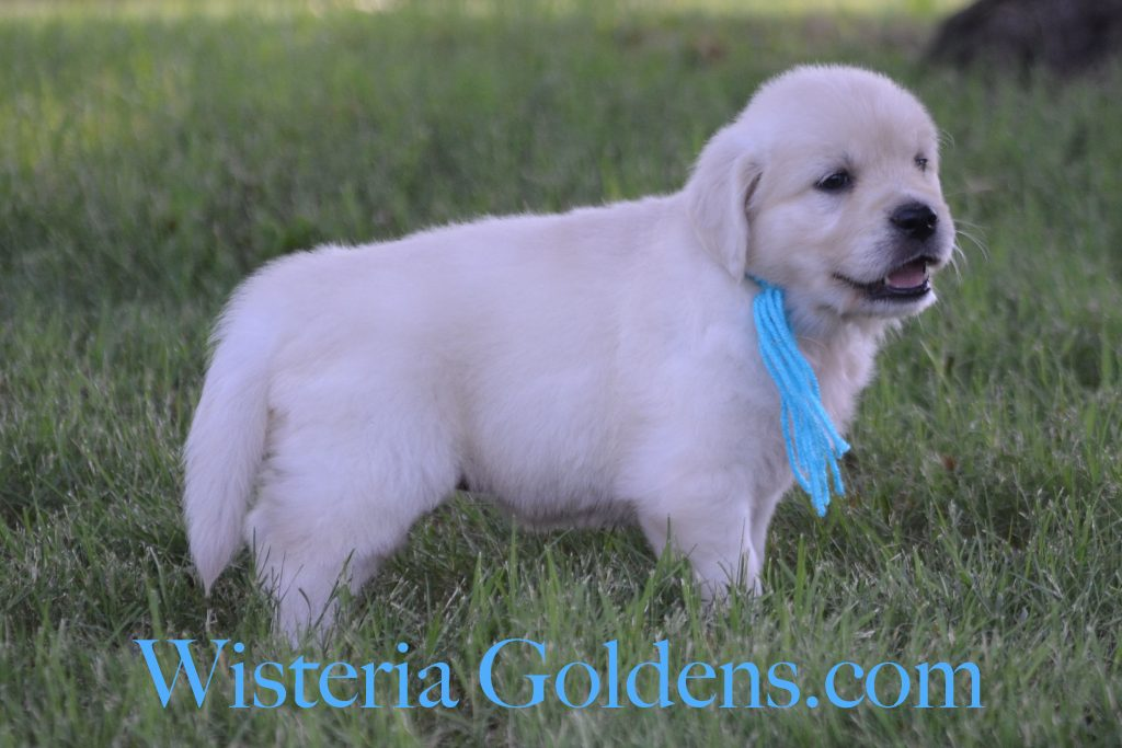 Sunny Litter Sunny/Tahoe Litter Born 05-08-2017 Six Week Pictures and Playtime Video. 8 girls and 3 boys. Ready for their forever homes on July 3rd. #wisteriagoldens #englishcreamgoldenretirever #puppiesforsale #BREDwithHEART