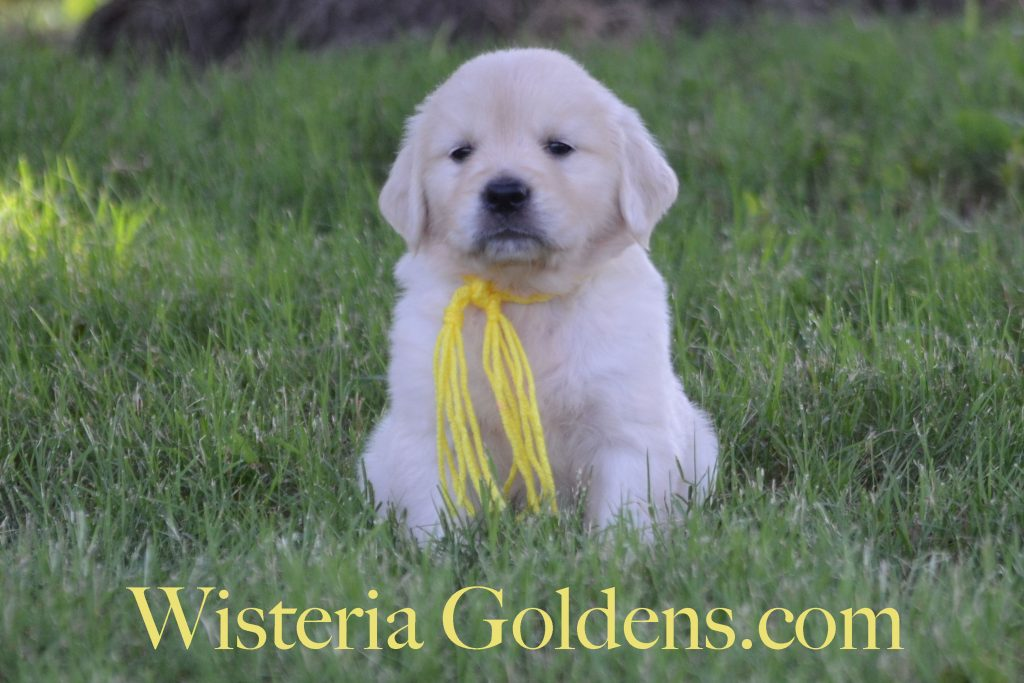Sunny Litter Previous Puppies Sunny/Tahoe Litter Born 05-08-2017 Six Week Pictures and Playtime Video. 8 girls and 3 boys. Ready for their forever homes on July 3rd. #wisteriagoldens #englishcreamgoldenretirever #puppiesforsale #BREDwithHEART