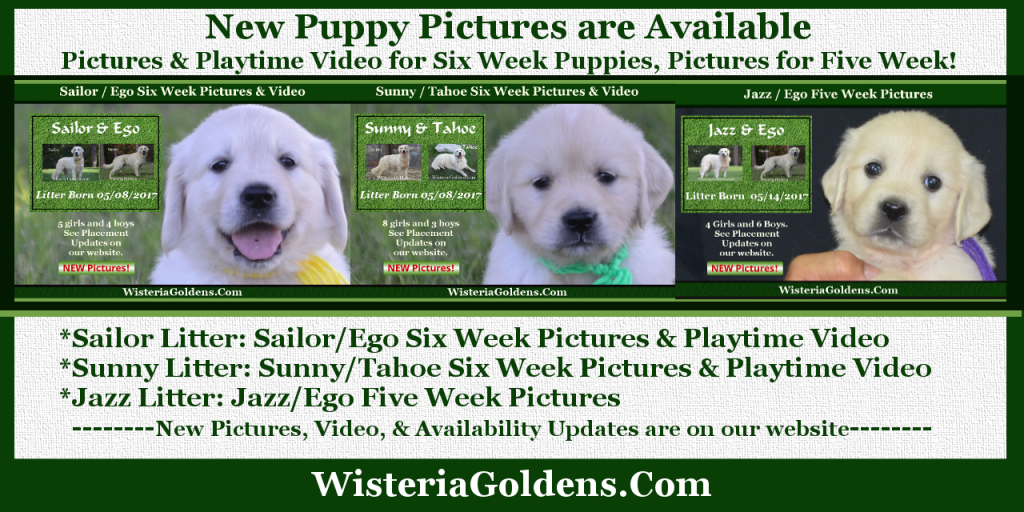 Wisteria Goldens focuses on raising quality and healthy English Cream Golden Retriever puppies. We have had Golden Retrievers for many years, but found and fell in love with the English Cream Golden Retrievers in 2004. On our website you will find information about us as Golden Retriever Breeders, pictures of our adult English Cream Golden Retrievers, current litter of English Cream Golden Retriever puppies and their availability, upcoming anticipated litters, our contract and guarantee, information for new owners, and how to contact us for purchasing your own Wisteria Golden English Cream Golden Retriever puppy!