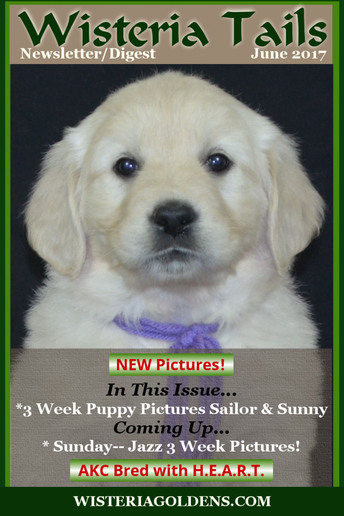 Wisteria Tails Highlights 06-03-2017, Newsletter/Digest ✔-- 3 Week Pictures Sailor & Sunny Litters are on the website, ✔-- Puppy Availability Update, ✔-- Update About Fraudulent Website (shut down!), ✔-- Popular Puppy Training Guides, and ✔-- Be sure to watch Tomorrow -- 4 Week Pictures! #wisteriatails #englishcreamgoldenretriever #puppiesforsale #WisteriaGoldens #EgoLitter #WebsiteAlert #essentialoilsfordogs #JazzOnMay2017Cover #JazzLitter #SailorLitter #TahoeLitter #BreezeLitter