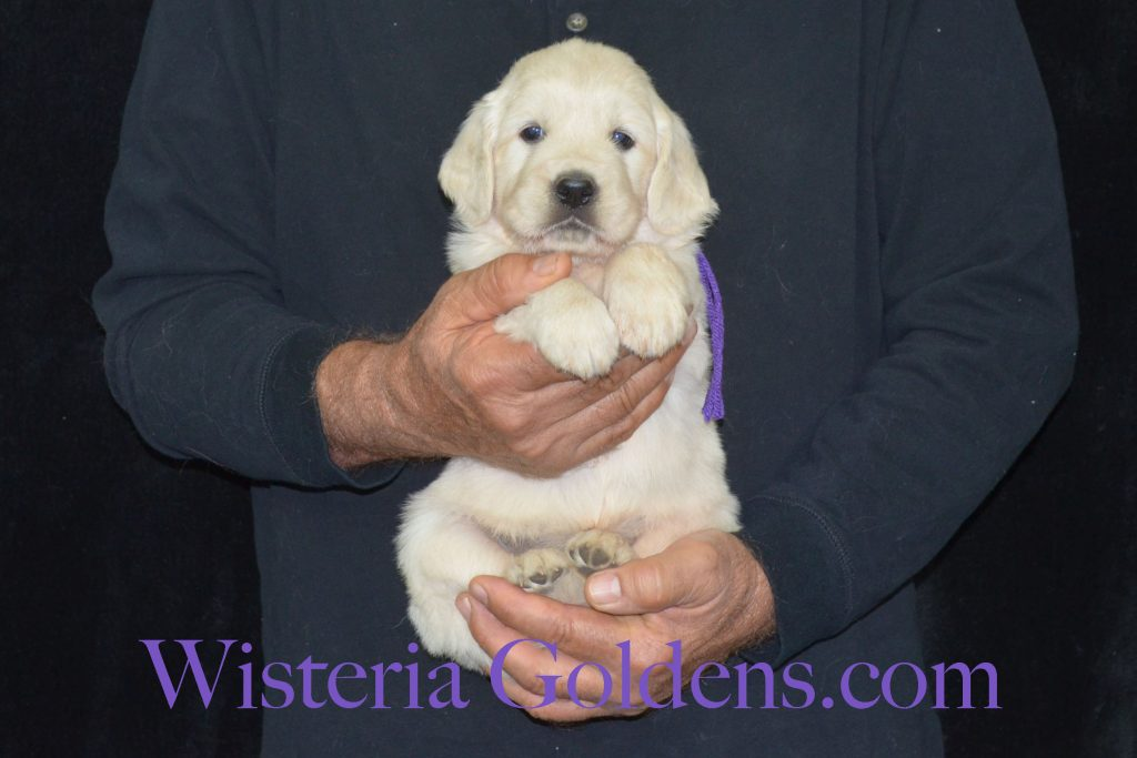 Breeze Litter Born 08-08-2017 5 week pictures Breeze/Ego Litter Wisteria Goldens focuses on raising quality and healthy English Cream Golden Retriever puppies. Find out more on our website. #englishcreamgoldenretriever #puppiesforsale #wisteriagoldens #bredwithheart