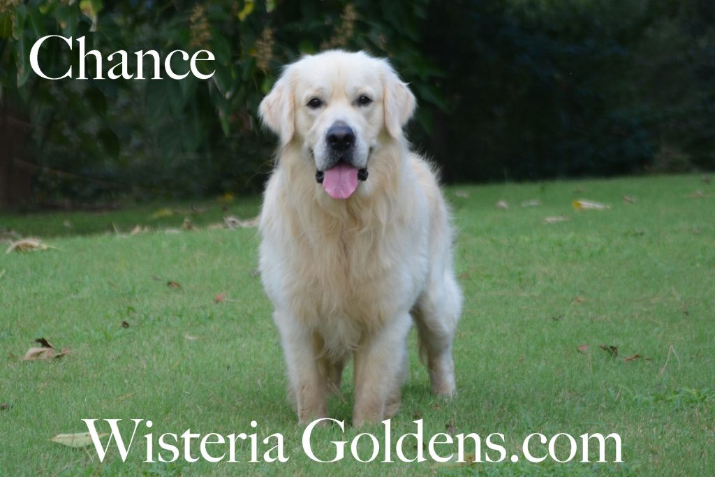 Chance Believe in love of Clear Passion Wisteria Goldens Our Boys English Cream Golden Retriever puppies for sale