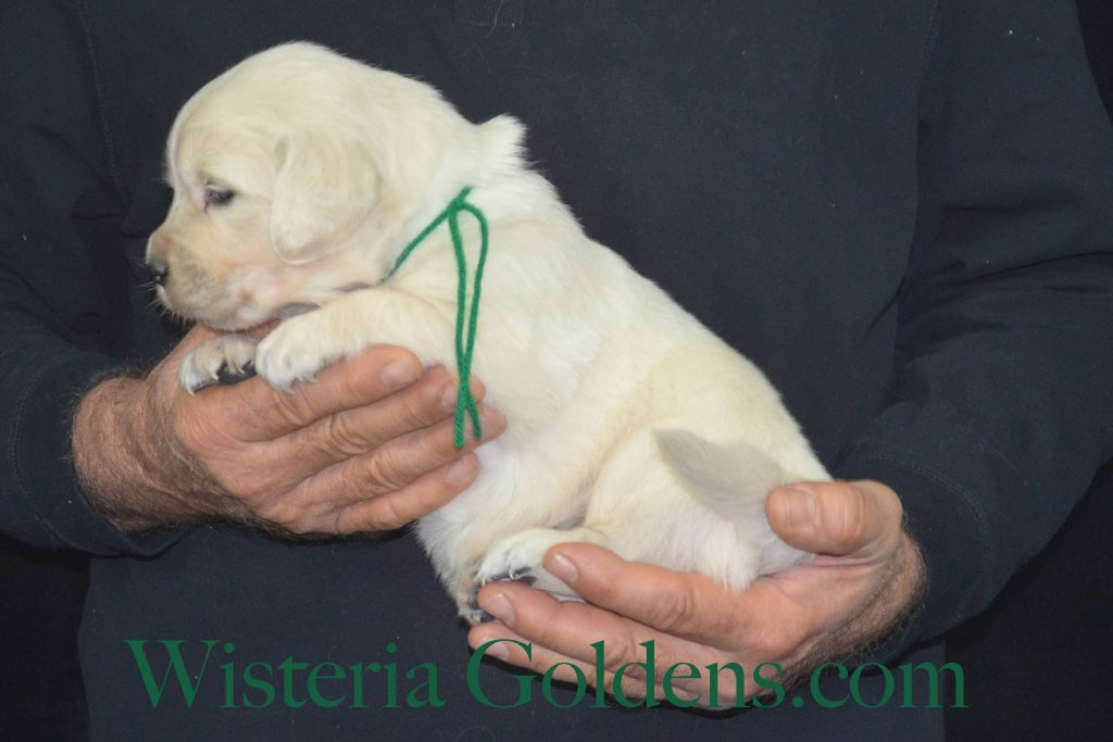 Piper Litter Four Week Pictures Piper / Ego Litter Born 9-28-2017 Wisteria Goldens English Cream Golden Retriever puppies