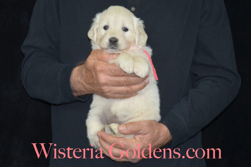 Piper Litter Litter Born 09-28-2017 Piper/Ego Five Week Puppy Pictures Wisteria Goldens English Cream Golden Retriever puppies for sale. Upcoming and Planned Litters: http://wisteriagoldens.com/available-puppies/ #englishcreamgoldenretriever #puppiesforsale #wisteriagoldens #BREDwithHEART