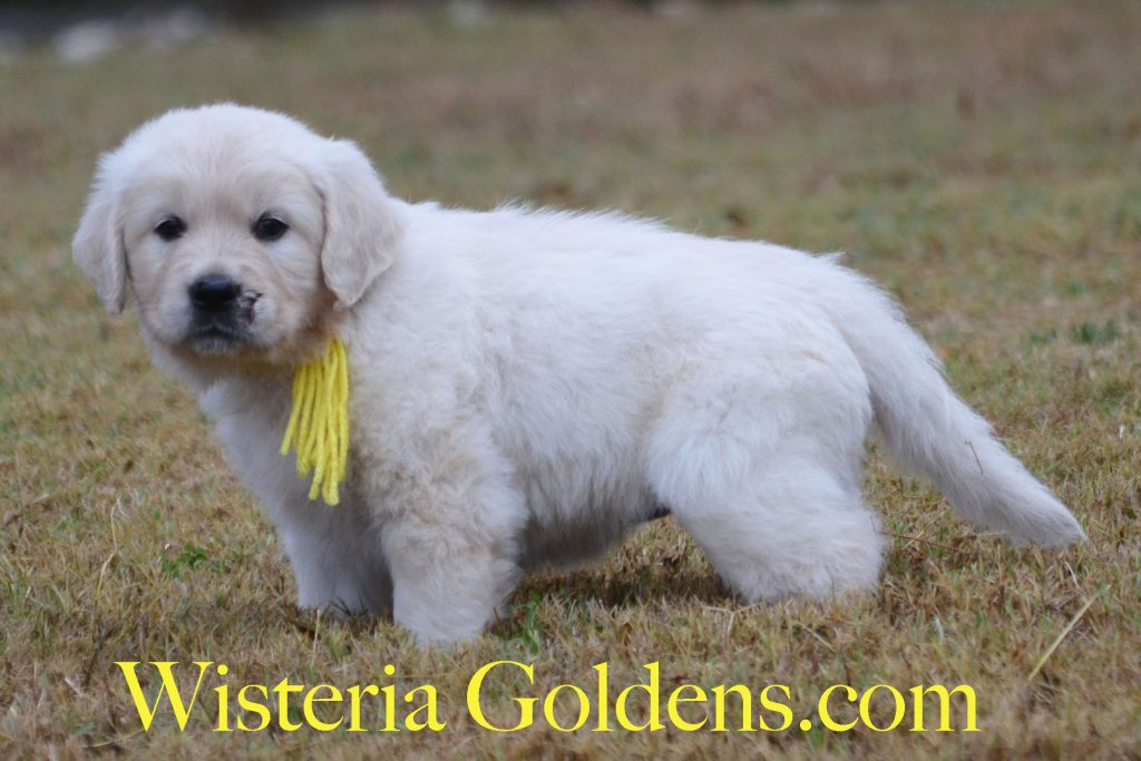 Piper Litter Born 09-28-2017 Piper/Ego Six Week Pictures English Cream Golden Retriever puppies for sale Wisteria Goldens wisteriagoldens.com BREDwithHEART
