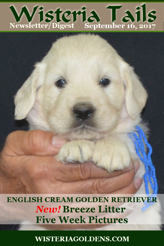 Wisteria Tails Highlights 09-16-2017Newsletter/Digest Online Version – Breeze Litter Five Week Pictures, – Letters from Forever Families: Hope & Harley Correction: Hope and Harley's parents are Halo & Ego, not Hope & Ego.  Hope is actually their great-grandmother, and – Piper's pregnancy has been confirmed. Read More on our website http://wisteriagoldens.com/newsletter/wisteria-tails-highlights-09-16-2017/ #wisteriatails #englishcreamgoldenretriever #puppiesforsale #BREDwithHEART#WisteriaGoldens #BreezeLitter #September2017Cover  #upcomingLitters #PlannedLitters #PiperLitter #EgoLitter