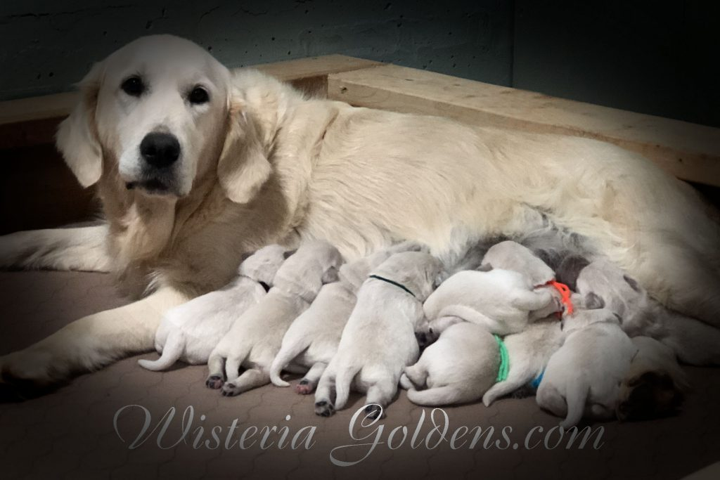 Angel Litter Born 11-24-2017 Angel/Chance English Cream Golden Retriever puppies for sale Wisteria Goldens BREDwithHEART