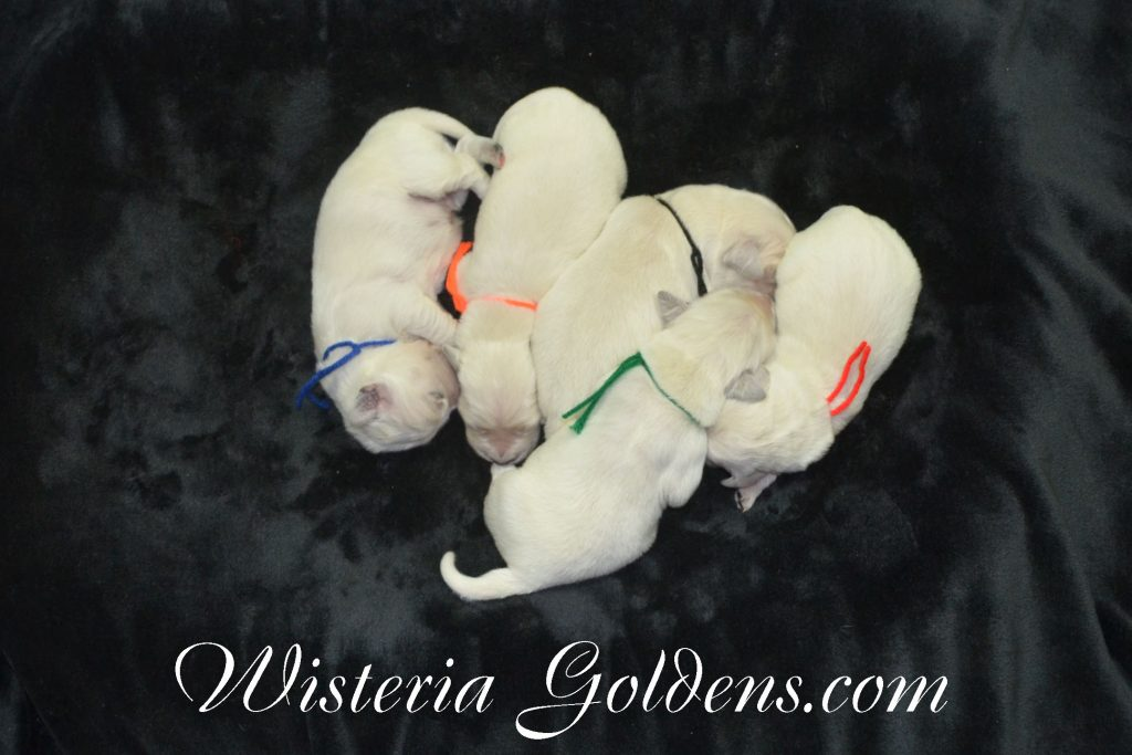 Sailor Litter Born 11-17-2017 Sailor/Chance English Cream Golden Retriever puppies for sale Wisteria Goldens BREDwithHEART