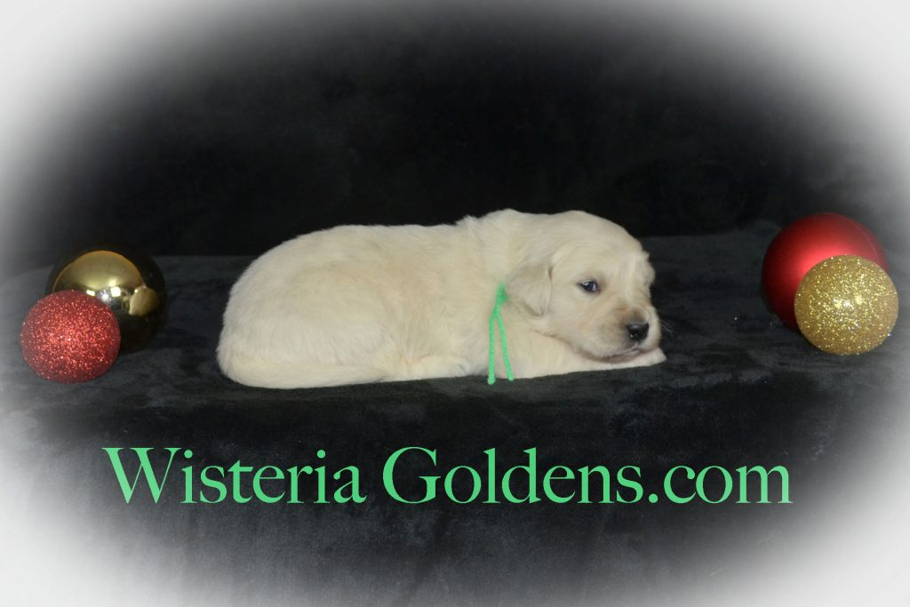 Angel Litter Born 11-24-2017. Angel/Chance. Three Week Pictures English Cream Golden Retriever puppies for sale Wisteria Goldens BREDwithHEART #PuppyPictures
