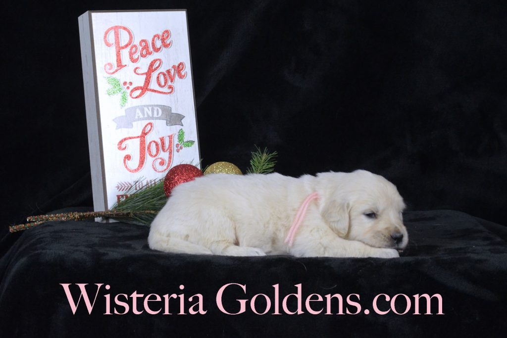 Angel Litter Born 11-24-2017 Angel/Chance Five Week Pictures English Cream Golden Retriever puppies for sale Wisteria Goldens BREDwithHEART