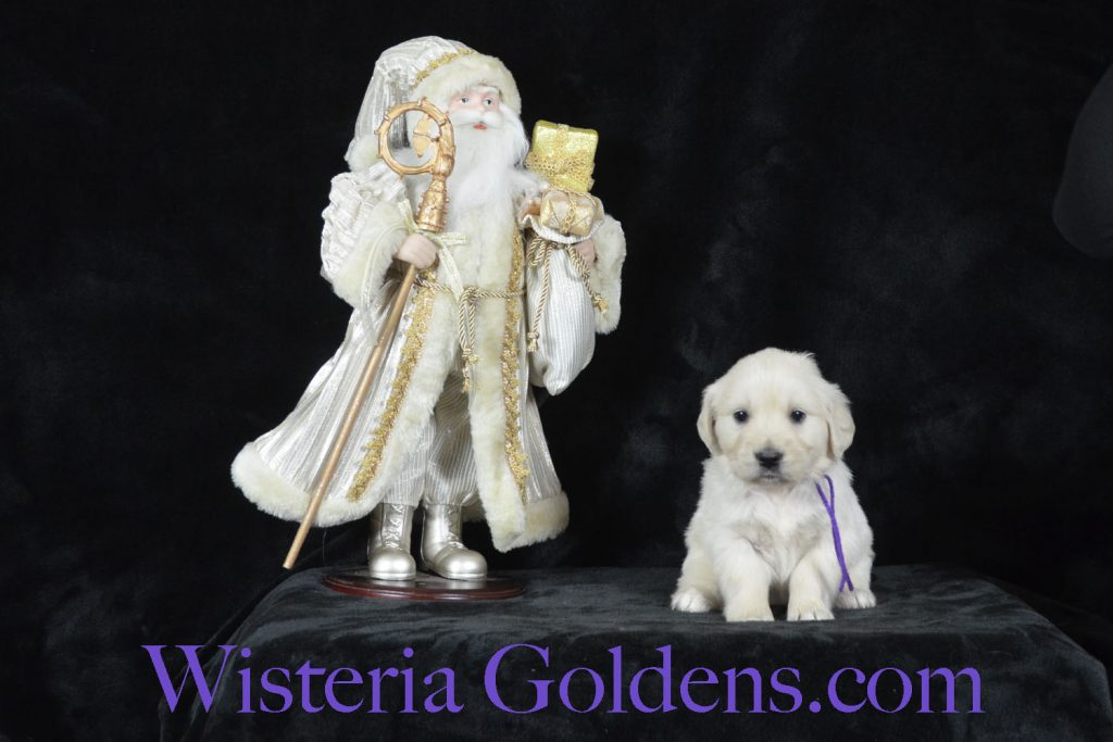 Angel Litter Born 11-24-2017 Five Week Pictures English Cream Golden Retriever Puppies for sale. Wisteria Goldens, BREDwithHEART Angel/Chance – Litter Born 11/24/2017. 4 girls and 5 boys.