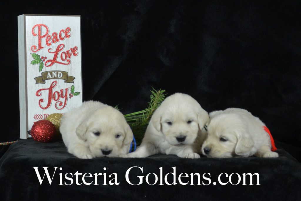 Jazz Litter Born 12-03-2017 Jazz/Ego 4 Week Pictures Wisteria Goldens English Cream Golden Retriever Puppies for Sale BREDwithHEART #JazzLitter #EgoLitter #englishcreamgoldenretriever #puppiesforsale