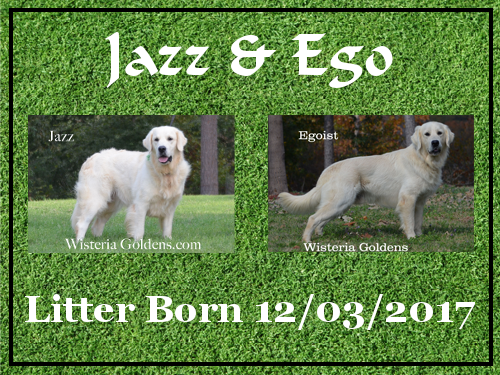Jazz litter born 12-03-2017 Jazz/Ego English Cream Golden Retriever puppies Wisteria Goldens