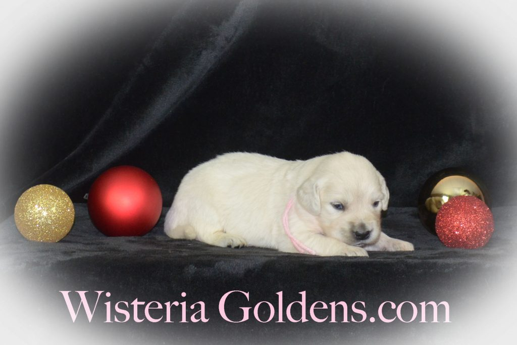 Jazz Litter Born 12-03-2017 Jazz/Ego Three Week Pictures English Cream Golden Retriever puppies for sale Wisteria Goldens BREDwithHEART