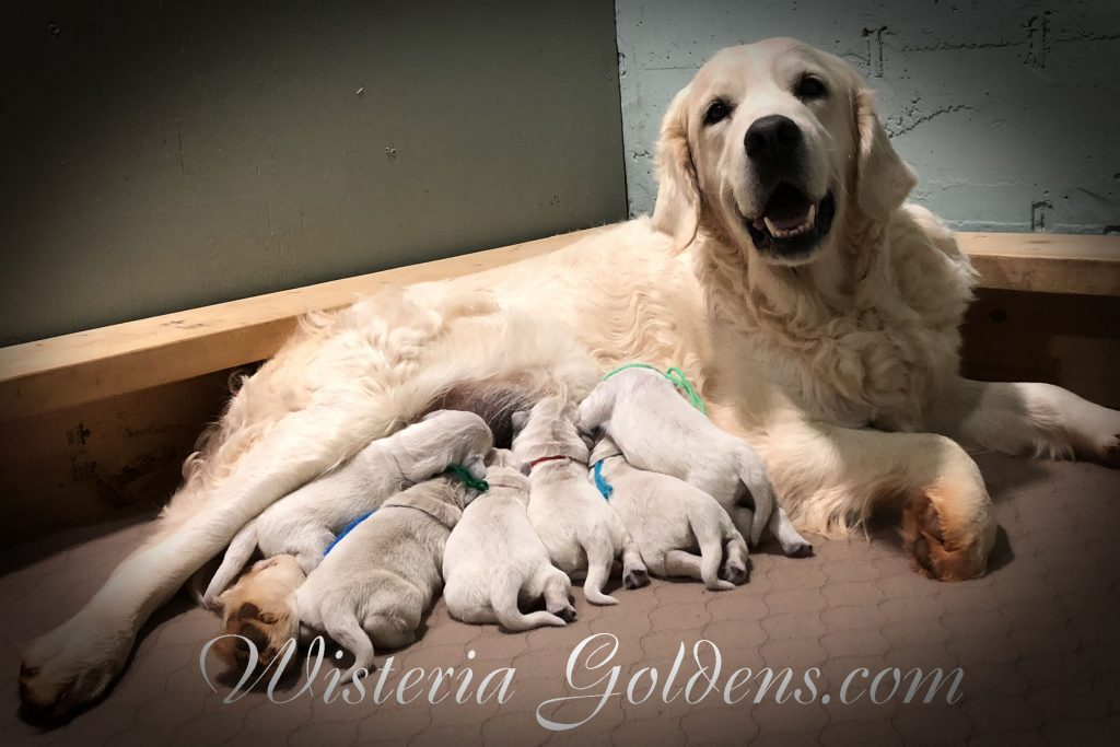 Jazz Litter Born 12-03-2017 Jazz/Ego English Cream Golden Retriever puppies for sale Wisteria Goldens BREDwithHEART
