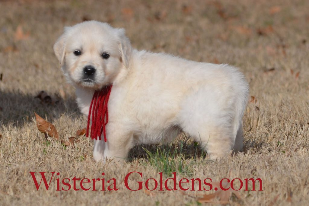 Sailor Litter Born 11-17-2017 Six Week puppy pictures English Cream Golden Retriever puppies for sale Wisteria Goldens BREDwithHEART Chance Litter, Sailor Litter, #wisteriatails #englishcreamgoldenretriever