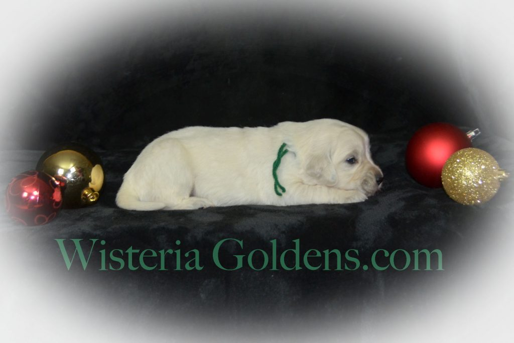 Sailor Litter born 11-17-2017 Sailor/Chance English Cream Golden Retriever puppies for sale Wisteria Goldens