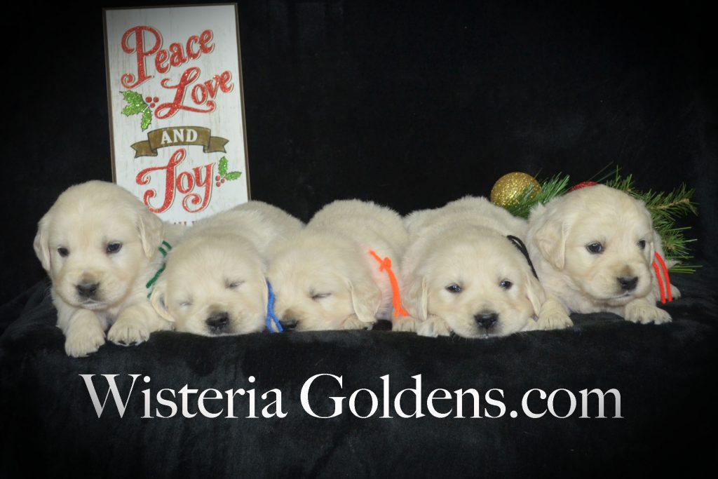 Sailor Litter Born 11-17-2017 Four Week Pictures. English Cream Golden Retriever puppies for sale Wisteria Goldens BREDwithHEART #SailorLitter #ChanceLitter