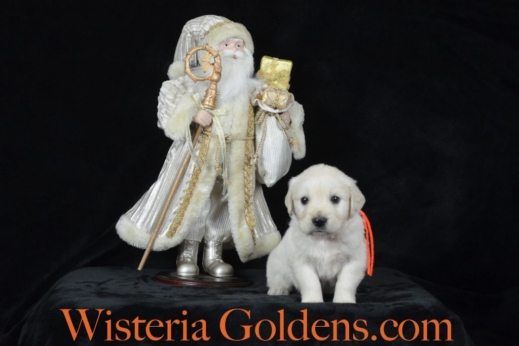 Sailor Litter Born 11-17-2017 Sailor/Chance Five Week Pictures English Cream Golden Retriever puppies for sale Wisteria Goldens BREDwithHEART