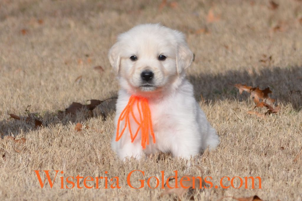 Sailor Litter Born 11-17-2017 Six Week puppy pictures English Cream Golden Retriever puppies for sale Wisteria Goldens BREDwithHEART Chance Litter, Sailor Litter, #wisteriatails #englishcreamgoldenretriever #puppiesforsale
