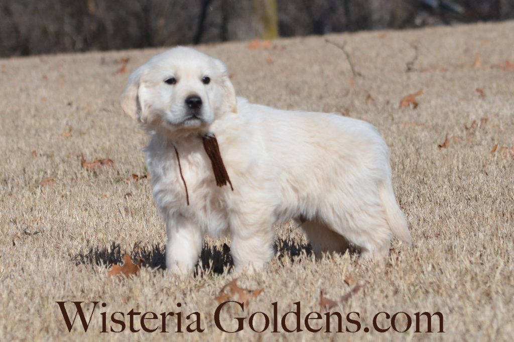 Angel Litter Born 11/24/2017 Angel/Chance 4 girls and 5 boys. English Cream Golden Retriever puppies for sale. Wisteria Goldens Bred with H.E.A.R.T.