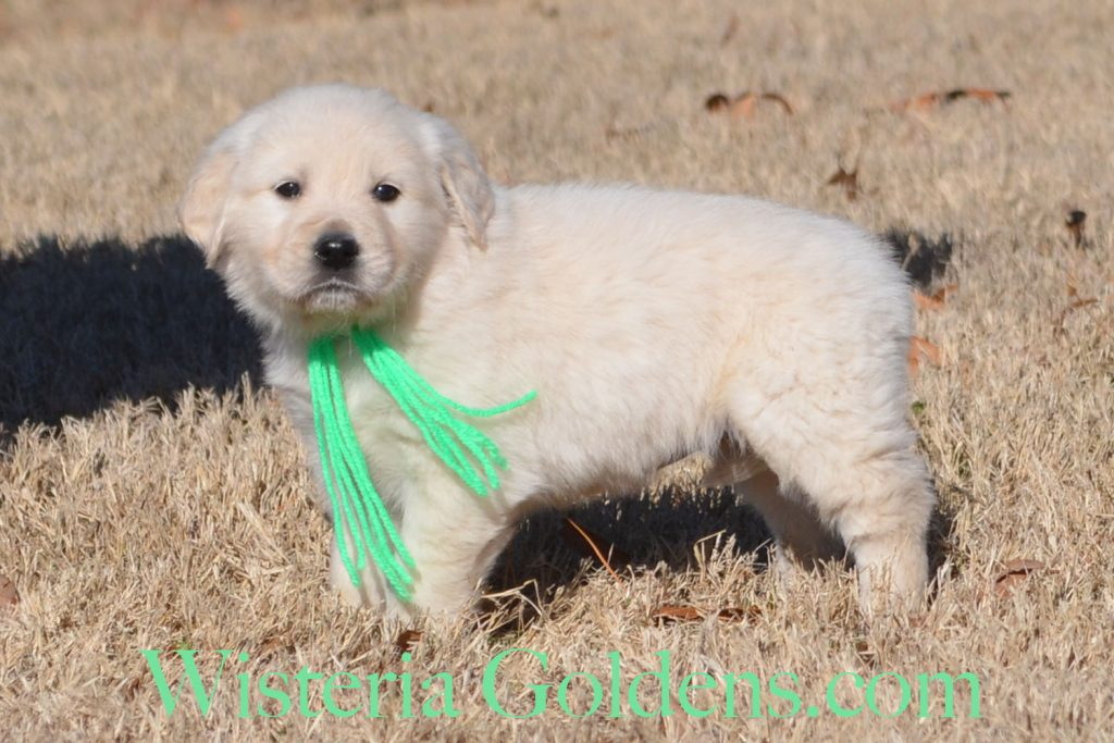 Angel Litter Born 11-24-2017 Angel/Chance Six Week Puppy Pictures. English Cream Golden Retriever puppies for sale. Wisteria Goldens BREDwithHEART Angel Litter Chance Litter
