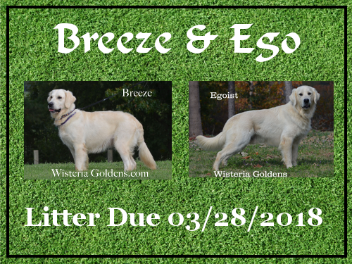 Breeze Litter Due 03-28-2018 Breeze/Ego English Cream Golden Retriever puppies for sale. Wisteria Goldens BREDwithHEART
