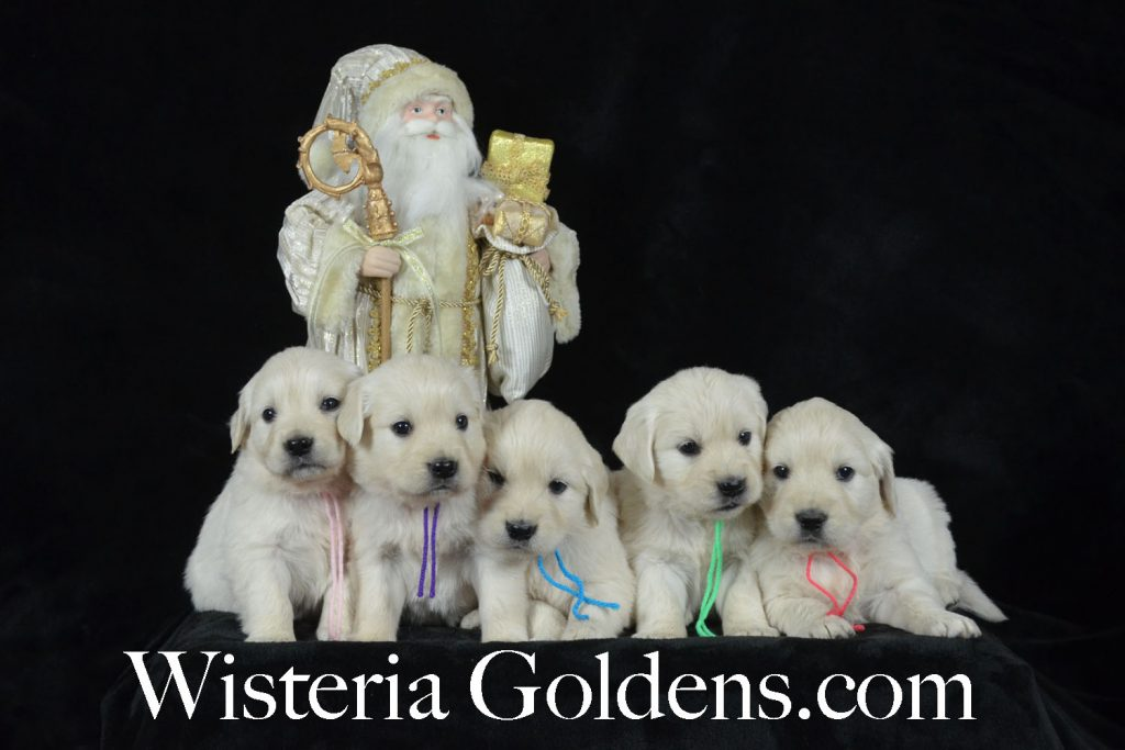 Jazz Litter Born 12-03-2017 English Cream Golden Retriever puppies for sale. Wisteria Goldens BREDwithHEART five week old puppy pictures.
