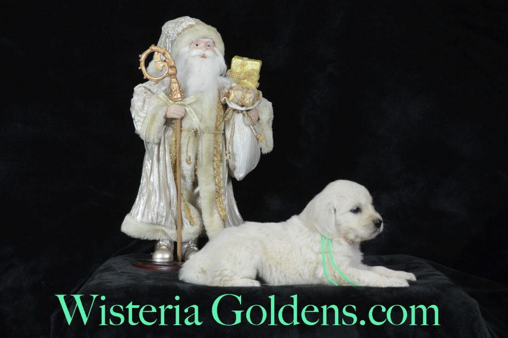 Jazz Litter Born 12-03-2017 English Cream Golden Retriever puppies for sale. Wisteria Goldens BREDwithHEART five week old puppy pictures. Jazz Litter Ego Litter