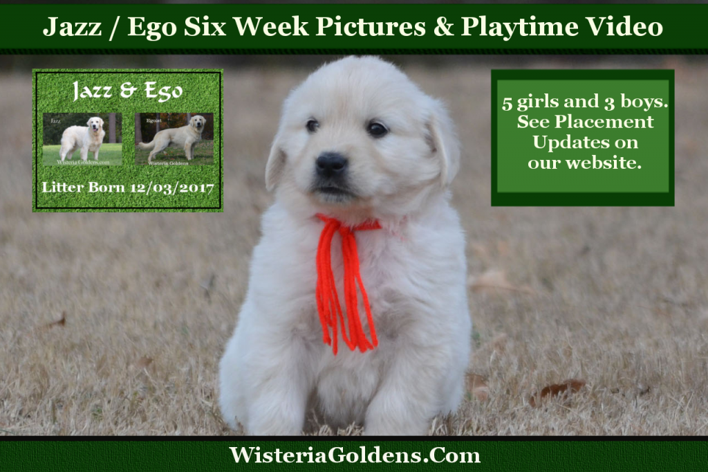 Wisteria Tails Highlights 01-20-2018 Jazz Litter Born 12-03-2017 Eight week pictures and playtime video. Wisteria Goldens English Cream Golden Retriever puppies for sale. #BREDwithHEART