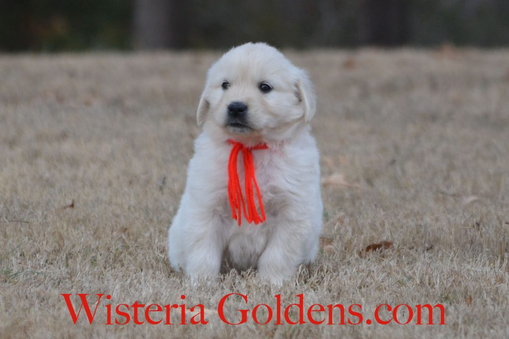 Jazz Litter Born 12-03-2017 Jazz/Ego 5 girls and 3 boys. English Cream Golden Retriever puppies for sale. Wisteria Goldens Bred with H.E.A.R.T. #englishcreamgoldenretriever #puppiesforsale #BREDwithHEART #WisteriaGoldens #JazzLitter #EgoLitter