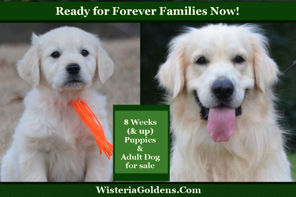 Ready for Forever Families Now Wisteria Goldens on Facebook