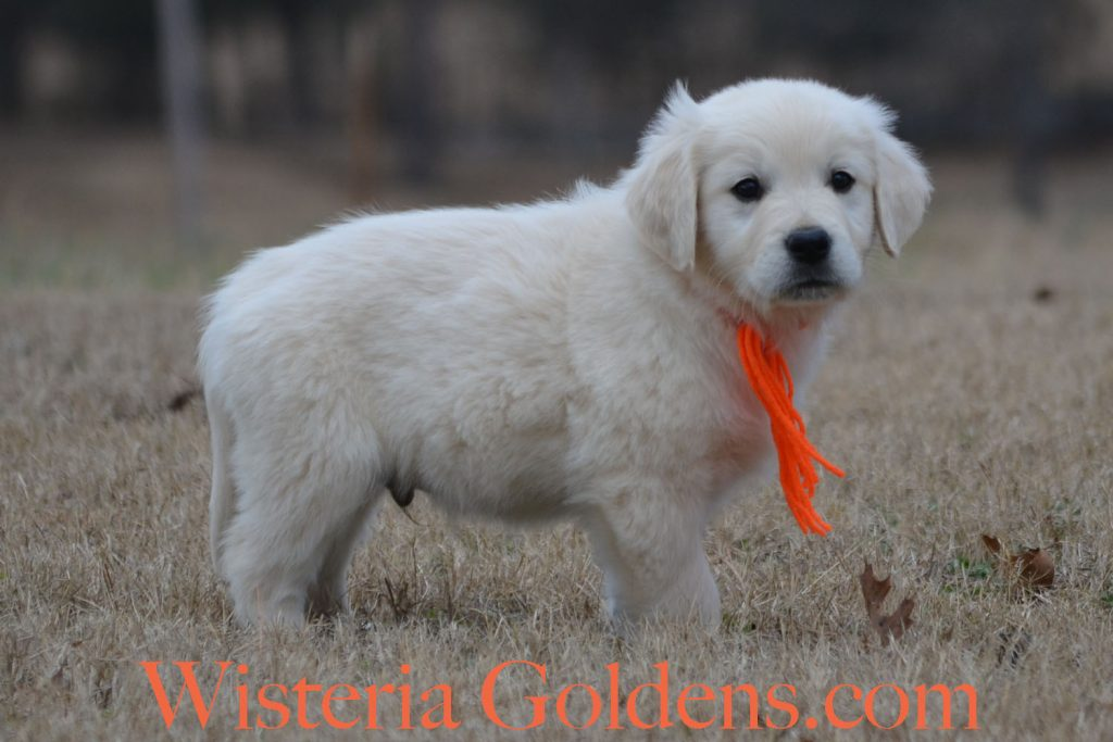 Sailor Litter Born 11-17-2017 Eight Week puppy pictures English Cream Golden Retriever puppies for sale Wisteria Goldens BREDwithHEART Chance Litter, Sailor Litter, #wisteriatails #englishcreamgoldenretriever #puppiesforsale