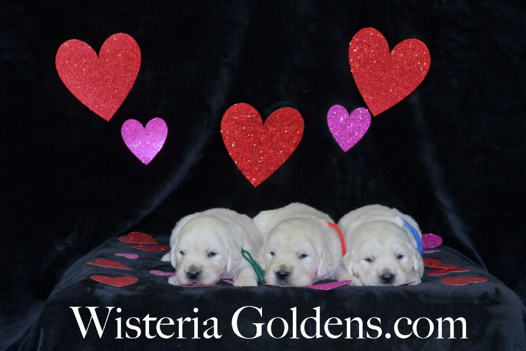 Sunny Litter Born 01-07-2018 Sunny/Ego Three Week Pictures English Cream Golden Retriever puppies for sale. Wisteria Goldens BREDwithHEART