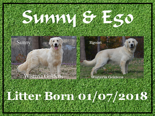 Sunny Litter Born 01/07/2018. 4 girls and 3 boys. English Cream Golden Retriever puppies for sale. Wisteria Goldens BREDwithHEART